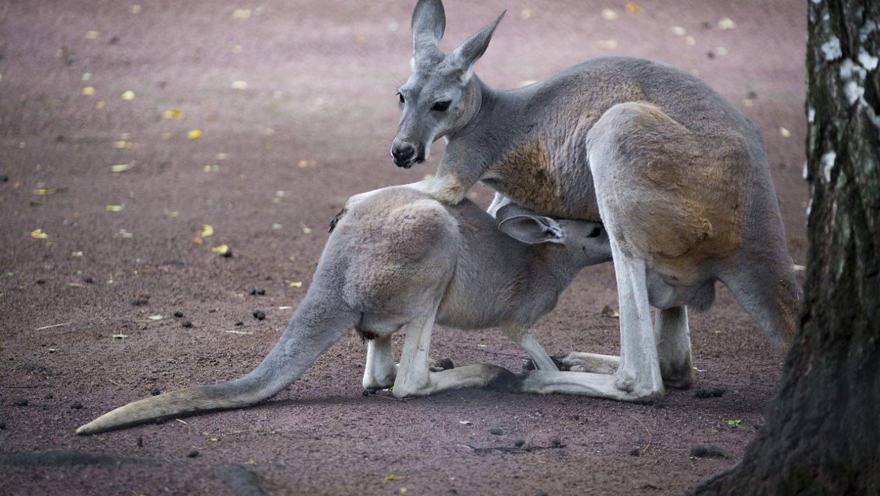 Australia National Animal
