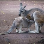 Facts about Australia National Animal – Kangaroo