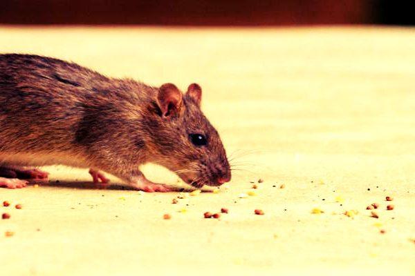 best rodent control company Phoenix, Arizona