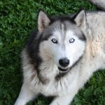 Native American Indian Dog: All You Need to Know