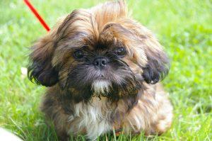 Shih Tzu Small Dog Breeds
