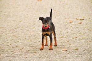 Miniature Pinscher Small Dog Breeds