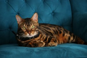 bengal breeds of cats