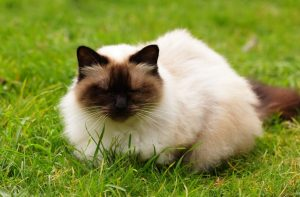 breeds of cats