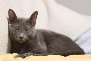 Russian Blue breeds of cats